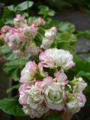 Pelargoni 'Appleblossom Rosebud'