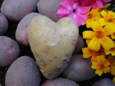Rakkautta perunamaalla