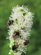 Kimalaisia kukkatähkässä