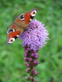 Butterfly on a flower spike