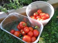 Tomaattisatoa 'Outdoor Girl'
