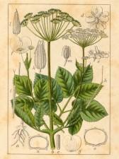 Kuukauden kasvi: vuohenputki