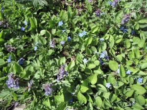 Kevätkaihonkukkia ja kevätkiurunkannuksia