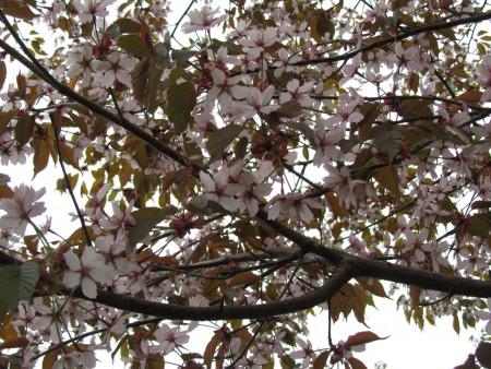 Kirsikkapuun alla
