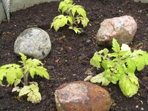Kivet lämmittävät tomaatintaimia