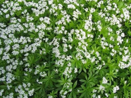 Tuoksumaratti kukkii