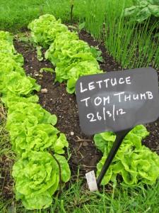 'Tom Thumb' salaatti kasvimaalla, Royal Botanic Garden Edinburgh