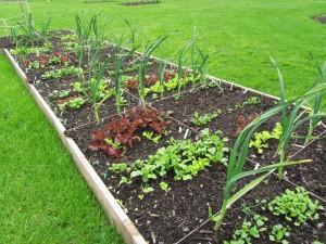 Ruutupenkki kasvimaalla, Royal Botanic Garden Edinburgh