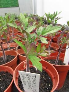 Tomaatintaimia 'Gardener's Delight'