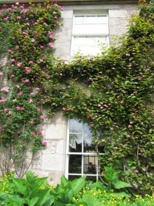 Flower Garden, Cawdor Castle Gardens: köynnösruusu ja kiinanlaikkuköynnös