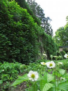 Walled Garden, Cawdor Castle Gardens: mansikankukkia keittiöpuutarhassa