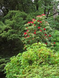 Rhododendron kukkii