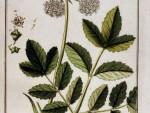 Kuukauden kasvi: väinönputki