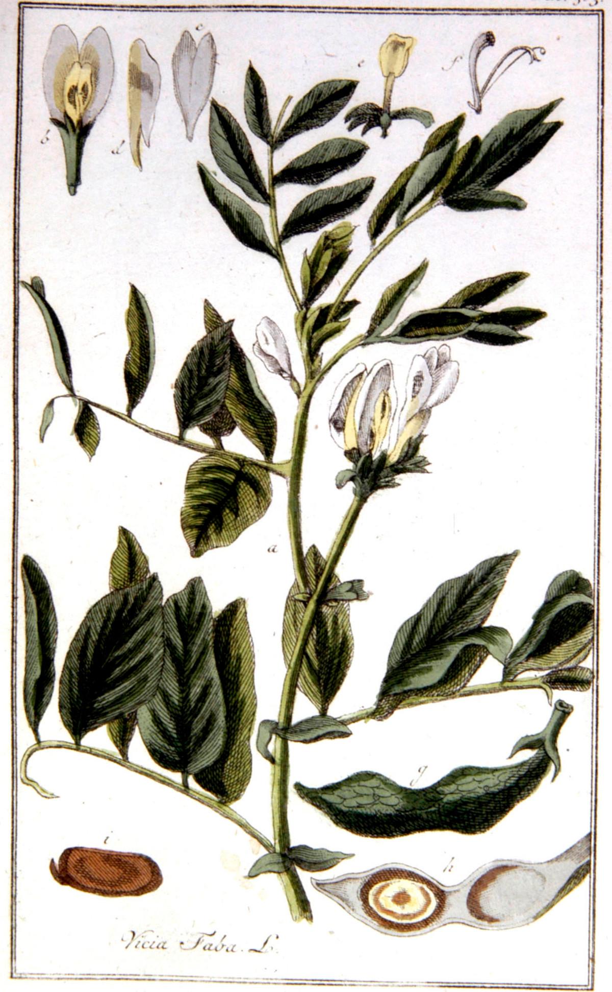 Kuukauden kasvi: härkäpapu