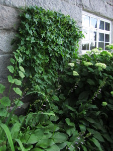 Köynnöspinaatti (Hablitzia tamnoides), Westersin Puutarha, Kemiö