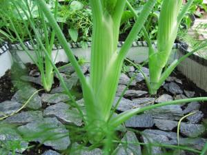 Salaattifenkoli työntää kukkavartta