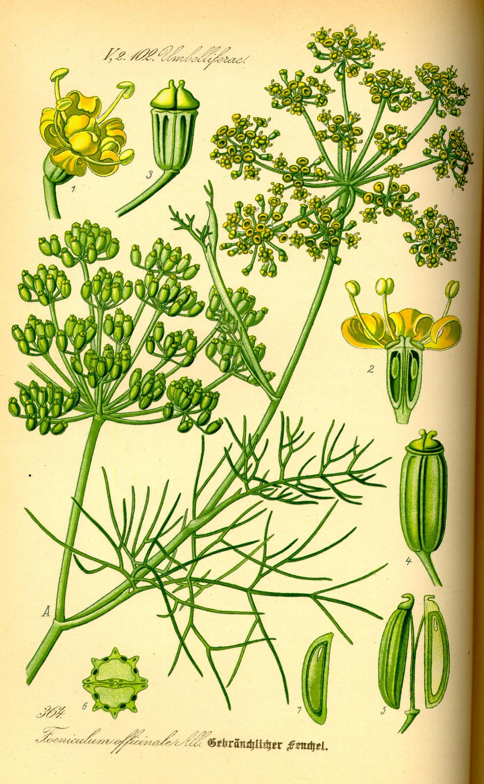 Kuukauden kasvi: salaattifenkoli