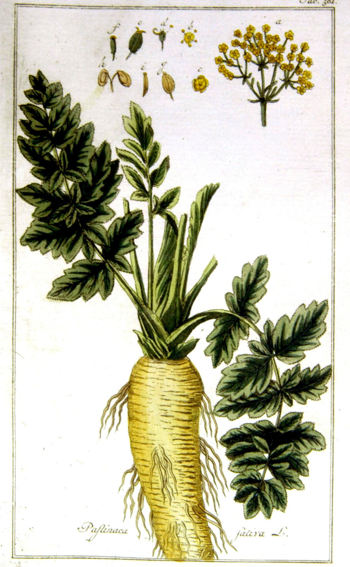 Kuukauden kasvi: palsternakka