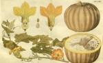 Kuukauden kasvi: talvikurpitsa