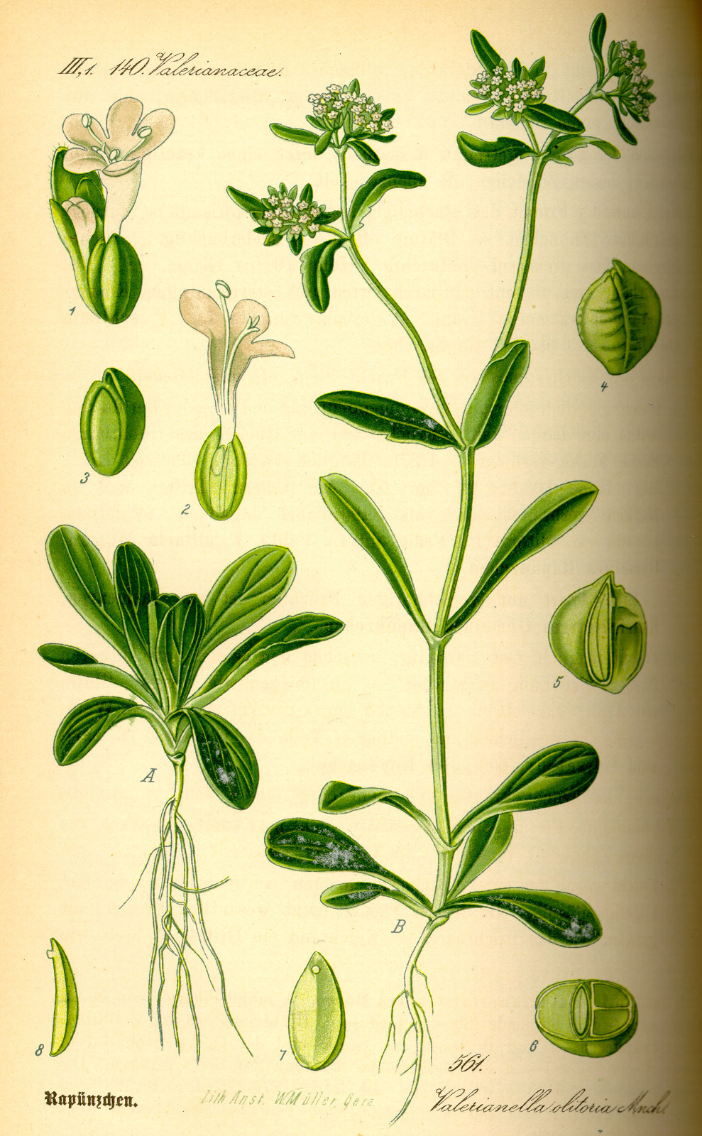 Kuukauden kasvi: vuonankaali