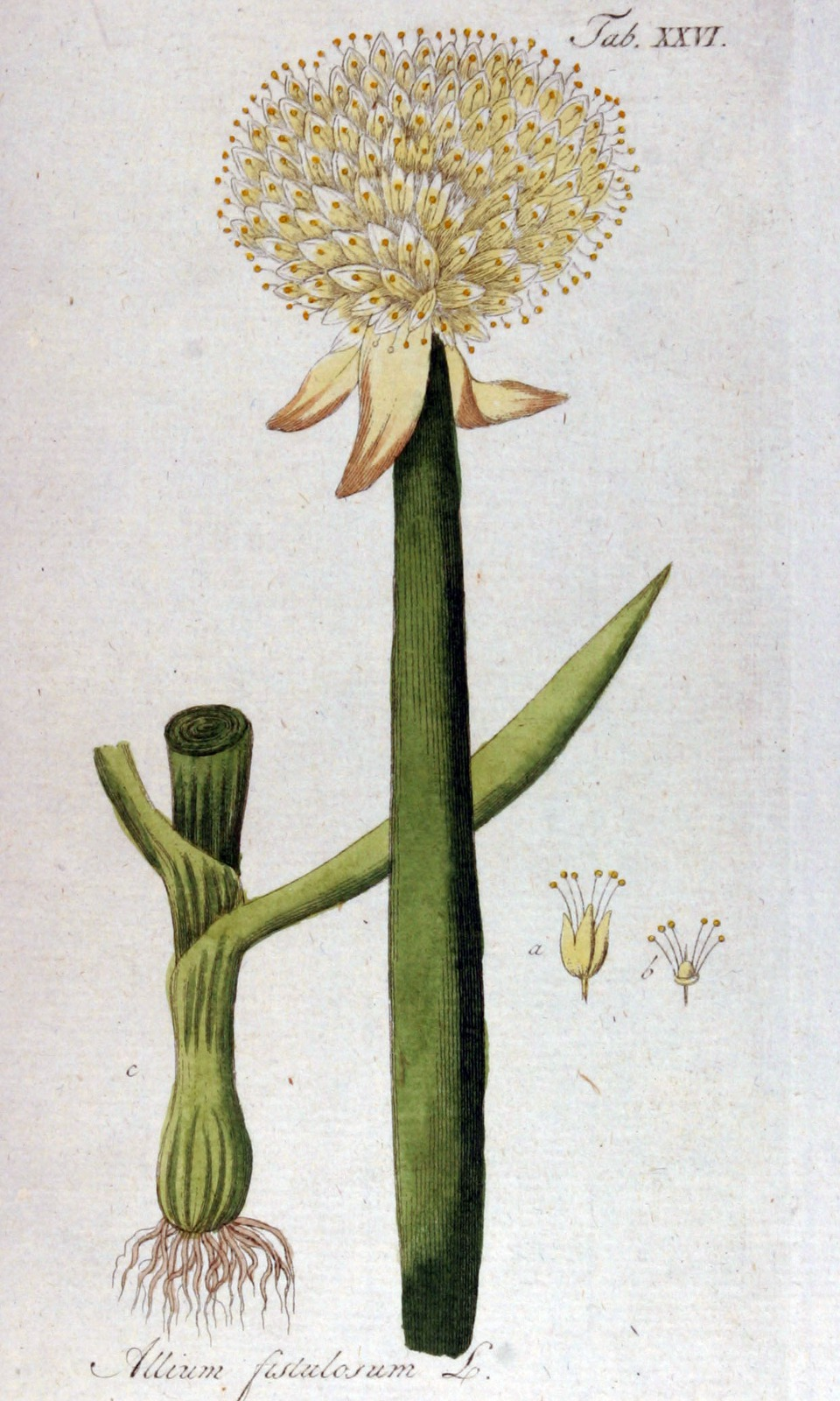 Kuukauden kasvi: kevätsipulit