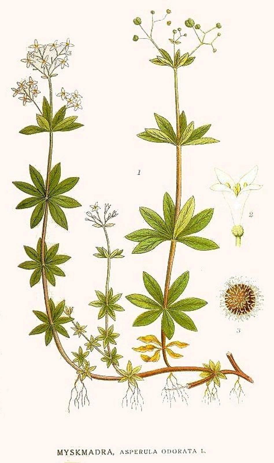 Kuukauden kasvi: tuoksumatara