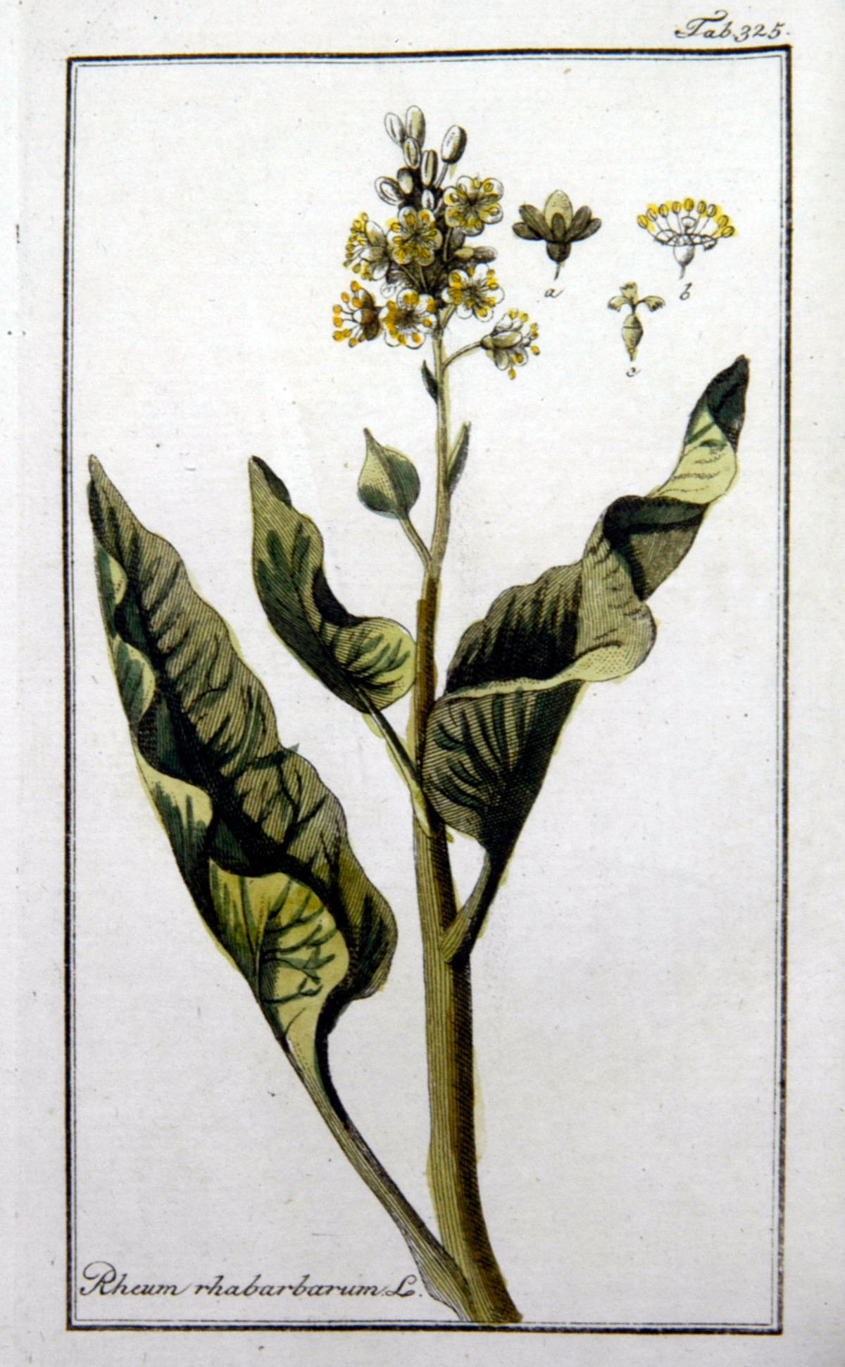 Kuukauden kasvi: raparperi