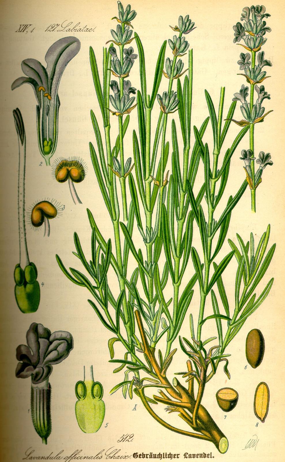 Kuukauden kasvi: laventeli