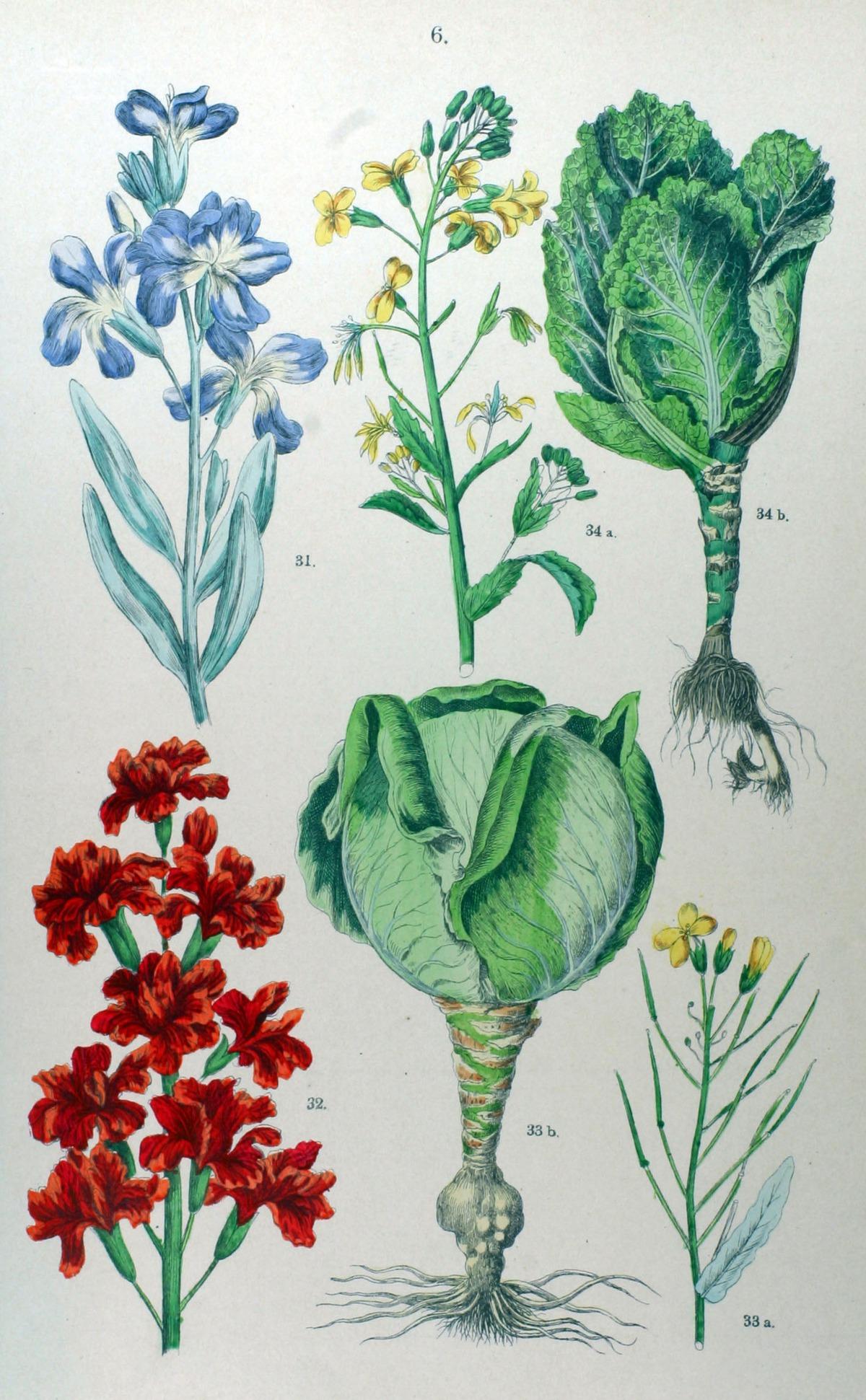 Kuukauden kasvi: lehtikaali