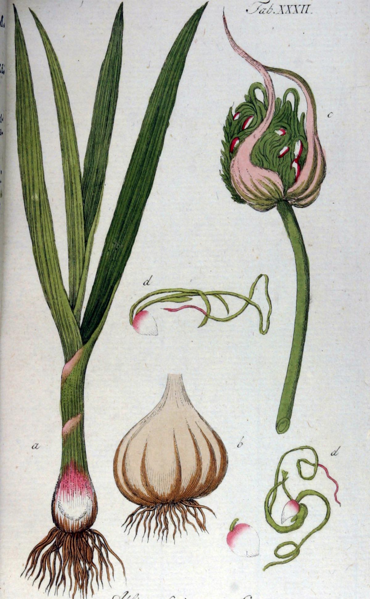 Kuukauden kasvi: valkosipuli
