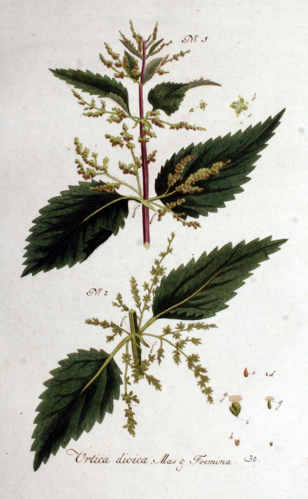 Kuukauden kasvi: nokkonen
