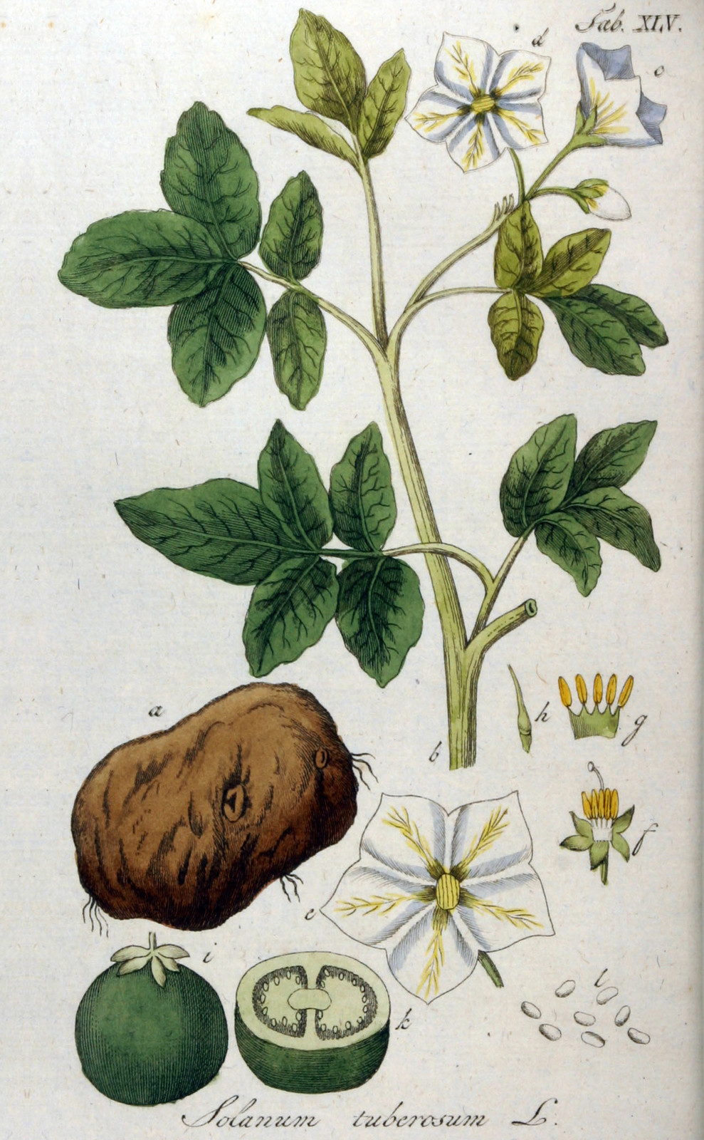 Kuukauden kasvi: peruna