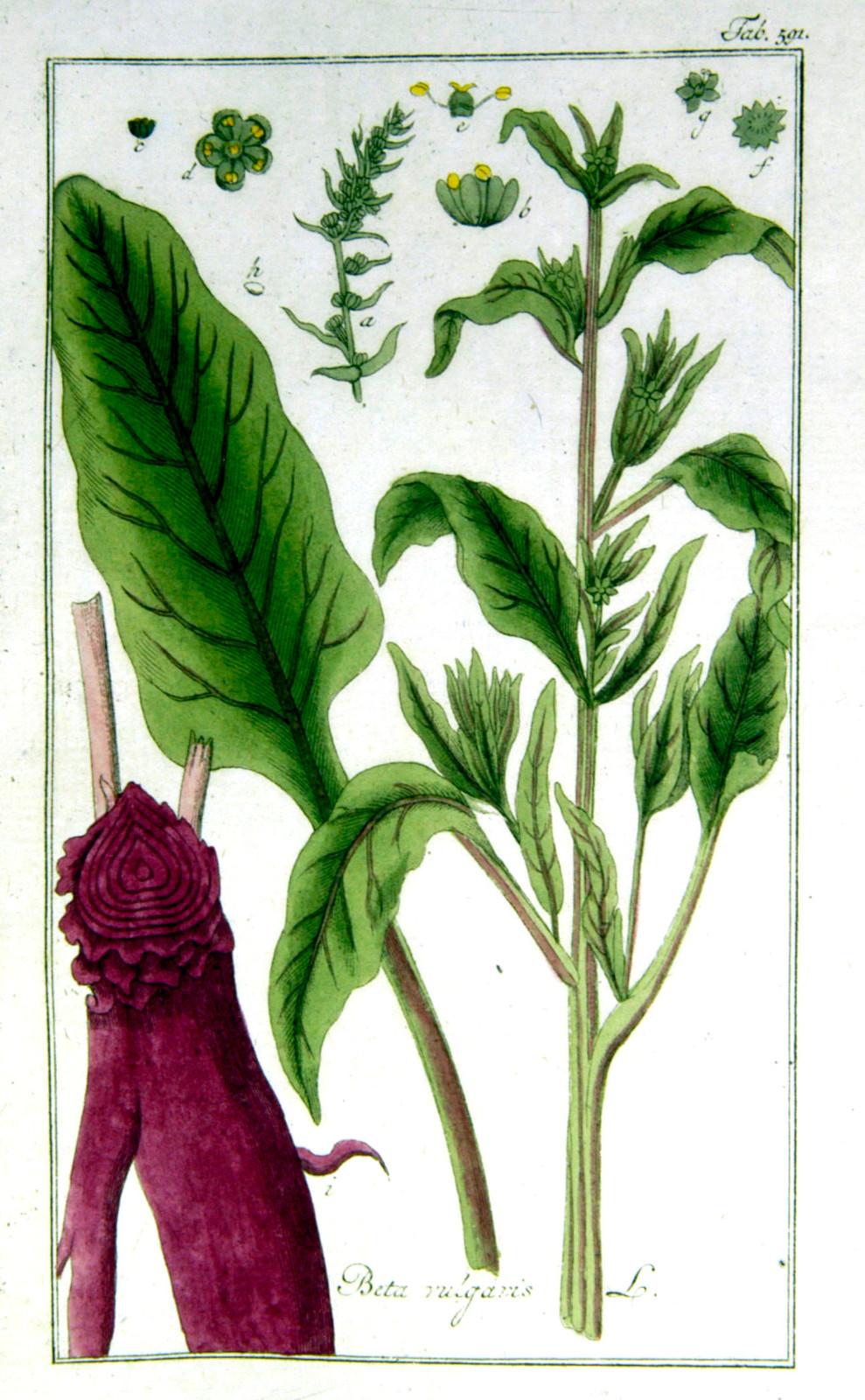 Kuukauden kasvi: mangoldi