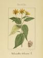 Kuukauden kasvi: maa-artisokka