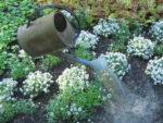 Töitä puutarhassa: kastelu