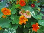 Kuukauden kasvi: pensaskrassi