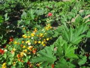 Kesäkukkien loistoa kasvimaalla