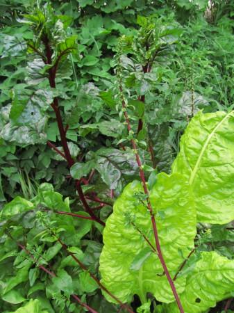 Mangoldia kasvimaalla