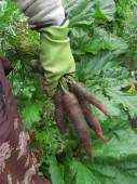 Porkkanasatoa