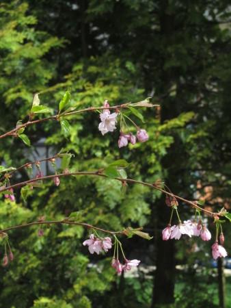 Kirsikkapuumme ensimmäinen kukinta