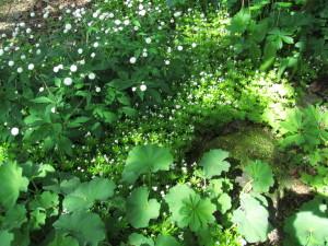 Valkoisessa puutarhassa kukkii