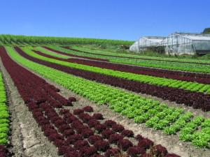 Salaattipelto Reichenaussa