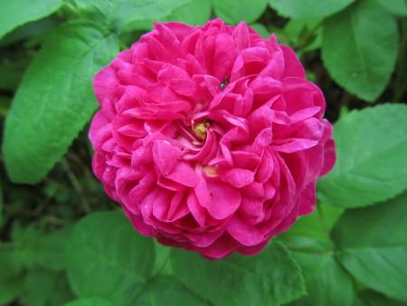 'Rose de Resht'