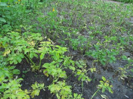 Perunarutto leviää kasvimaalla