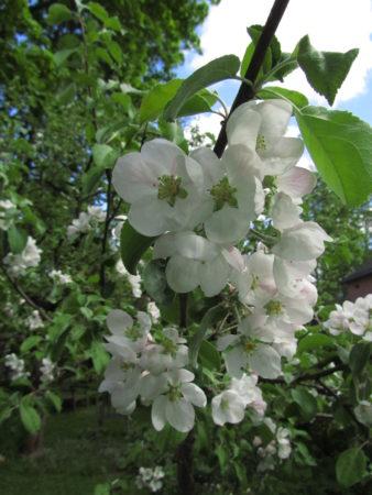 Omenapuun kukintaa 2016