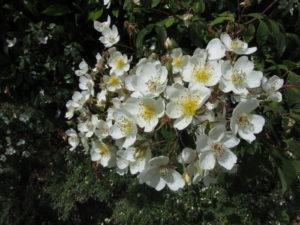 Helenanruusu