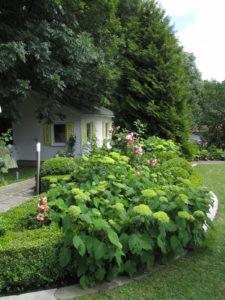 Hortensia rajaa nurmikonlaitaa