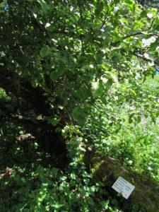 Myrskyn kaatama omenapuu