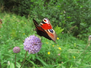 Perhonen kesäniityllä