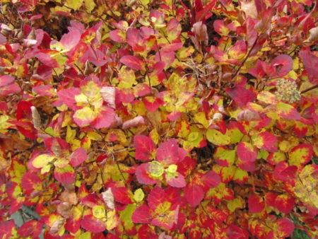 Koivuangervon lokakuun väriloistoa